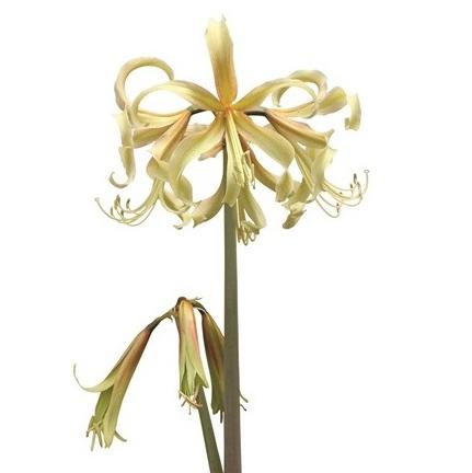 premium african amaryllis